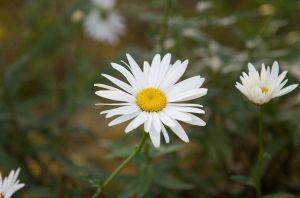 Camomile. Simple. by SlyAlex