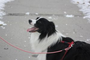 The Collie by unperformed