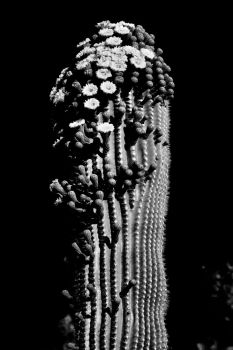 Saguaro in Shades of Black  by Monkeystyle3000