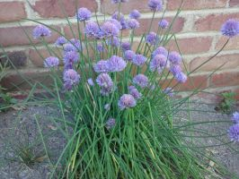chives by Impsgramma