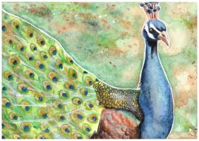 Peacock by Paintwick