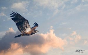 Eagle  immature flyby by DGAnder