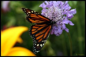 Monarch on purple flower by shutterbugmom