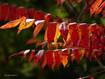 Staghorn Sumac: Intimate Autumn by Mogrianne