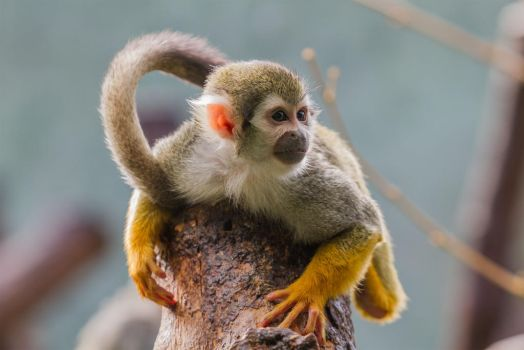 Monkey by Fotostyle-Schindler