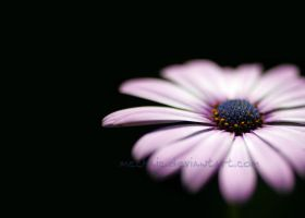 Daisy in the Darkness by mechanic