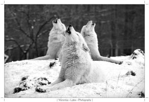 white wolfs by melba15