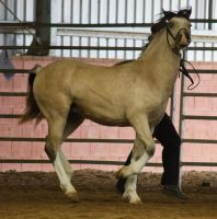 STOCK - 2014 Welsh QLD Show-56 by fillyrox