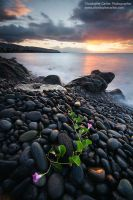 Black stones and Flowers by ChristopheCarlier