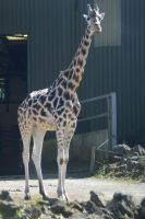 Rothschild's Giraffe by Clangston