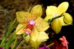 Orchid Two by lobodomar