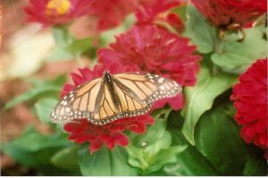 Monarch Butterfly by moonshadow150