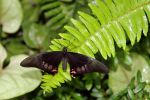 Papilio anchisiades by TheSleepyRabbit