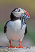 Cute is my middle name - Atlantic Puffin by Jamie-MacArthur