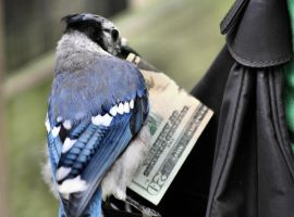 Pick-Pocket Bluejay by mikona46