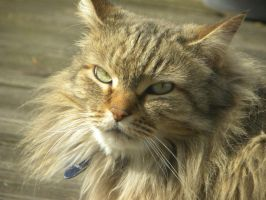 Maine Coon 2 by FreezingDarkFantasy
