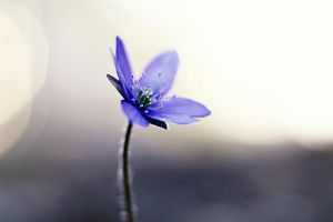 Hepatica by TriinErg