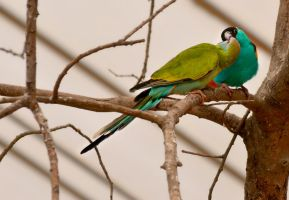 Smooching Parakeets by EHilsdonPhotography