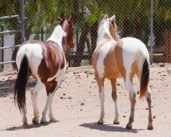 HORSE STOCK -  Pintos 5 by kittykitty5150