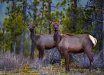 Elk-Forest's Edge by JestePhotography
