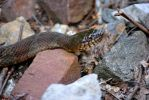 Northern Watersnake Closeup by sioranth