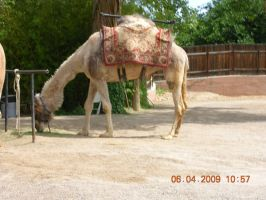 Camel by eires666