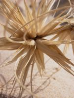 Sand Spinifex by theDexperience