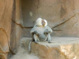 Baboon King by JennyM-Pics