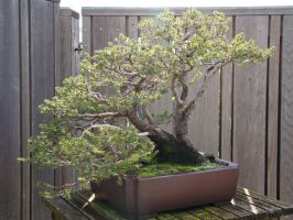 Bonsai by lcshaver06