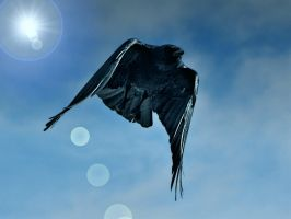 Crow in flight by PomPrint