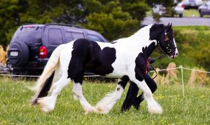 Black Pinto Gypsy Vanner Trot by DWDStock
