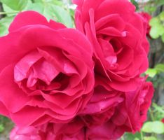 Red Climber rose 2 by Kattvinge
