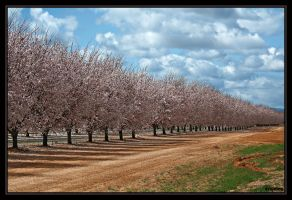 Almond Orchard by ernieleo