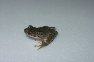 Frog2 by Tortured-Raven-Stock