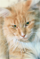 My Mainecoon: Falcor by fran-briggs