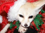 Festive Fennec fox by Corsacfoxes