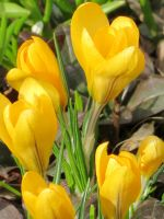 Yellow Crocuses by Kitteh-Pawz