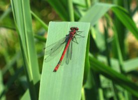 Damselfly red by Toefje-Kunst