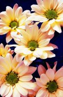 Chrysanthemums with Water Drops by nouvellecreation