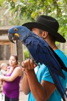 Blue, the Hyacinth Macaw by The-Dude-L-Bug