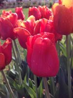 Tulip Time 2014 Pic 27 by rjrgmc28