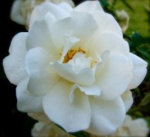 Simple White Rose by MissSpocks