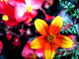 Yellow and Orange Star Flower by Sing-Down-The-Moon