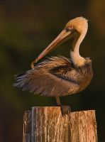 Preening Brown Pelican by hey-man-nice-shot