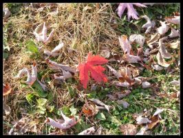 Lone Red Leaf by coyoteflutesong