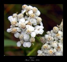 Yarrow by altered-states