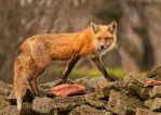 Rock Wall Fox by Les-Piccolo