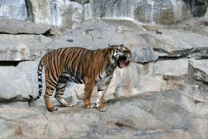 Tiger yawning 002 by neverFading-stock