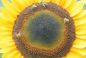 Pollen Station, Bees and Sunflower 12 by Miss-Tbones