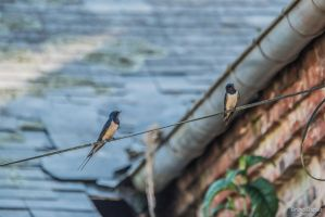 Rustic swallows by BD-76
